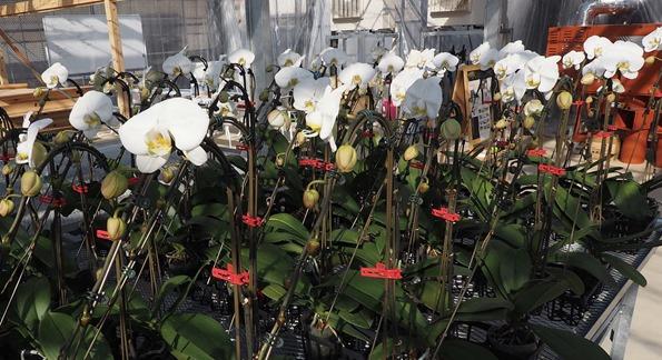 AlonAlon オーキッドガーデンで育つ胡蝶蘭